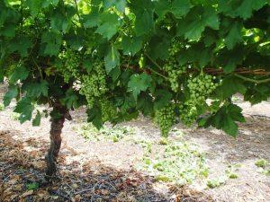 Table Grapes – Dealing with high pH water