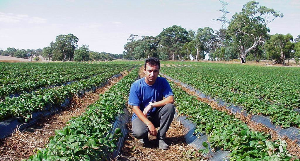 Irrigation to strawberry fields
