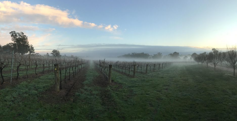 Even with salinity in the water the Wild Duck Creek Vineyard is looking good.
